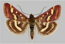 Microlepidoptera1